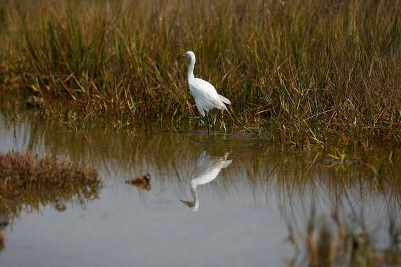 A young snowy egret wades around its new environment after being released in the restored march area of the Martin Luther King Jr. Regional Shoreline August 19, 2016 in Oakland, Calif.