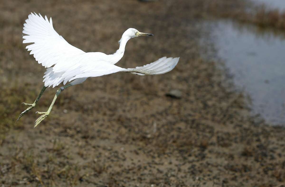 A young snowy egret flies to its freedom after being released in the restored march area of the Martin Luther King Jr. Regional Shoreline August 19, 2016 in Oakland, Calif.