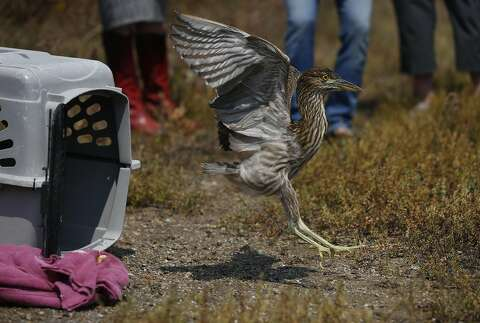 ef8a856f3ca15 A young Black-Crowned Night Heron flies to its freedom after being released  in the