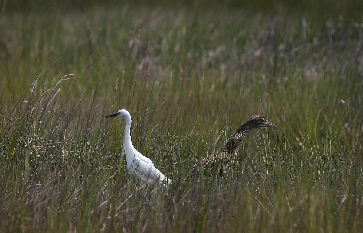 A young snowy egret and a Black-Crowned Night Heron stand near each other after they were released in the restored march area of the Martin Luther King Jr. Regional Shoreline August 19, 2016 in Oakland, Calif.