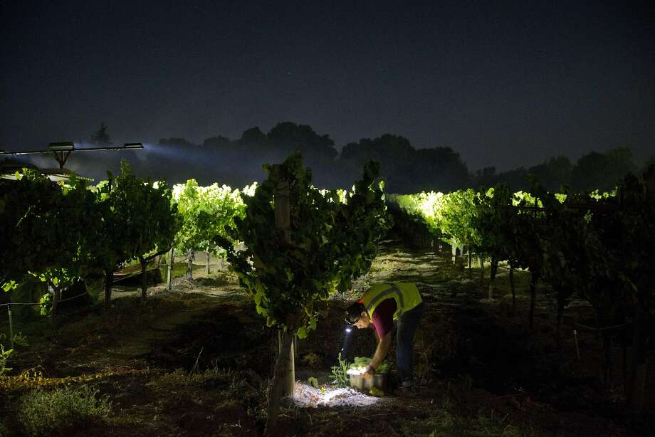 A worker picks grapes illuminated by LED lights on a tractor during the overnight 2016 wine grape harvest at Hyde Vineyards in Carneros in Napa, Calif., on Wednesday, August 17, 2016. The Hyde's were harvesting the chardonnay grapes overnight to have them at the wineries at 7 a.m.  The practice of overnight harvesting has grown over the past five years in the region. Photo: Carlos Avila Gonzalez, The Chronicle
