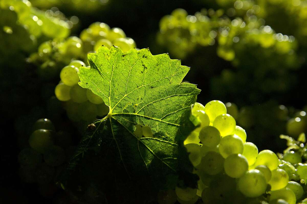 A solo leaf accompanies grapes in the transport crate during the overnight 2016 wine grape harvest at Hyde Vineyards in Carneros in Napa, Calif., on Wednesday, August 17, 2016. The Hyde's were harvesting the chardonnay grapes overnight to have them at the wineries at 7 a.m. The practice of overnight harvesting has grown over the past five years in the region.