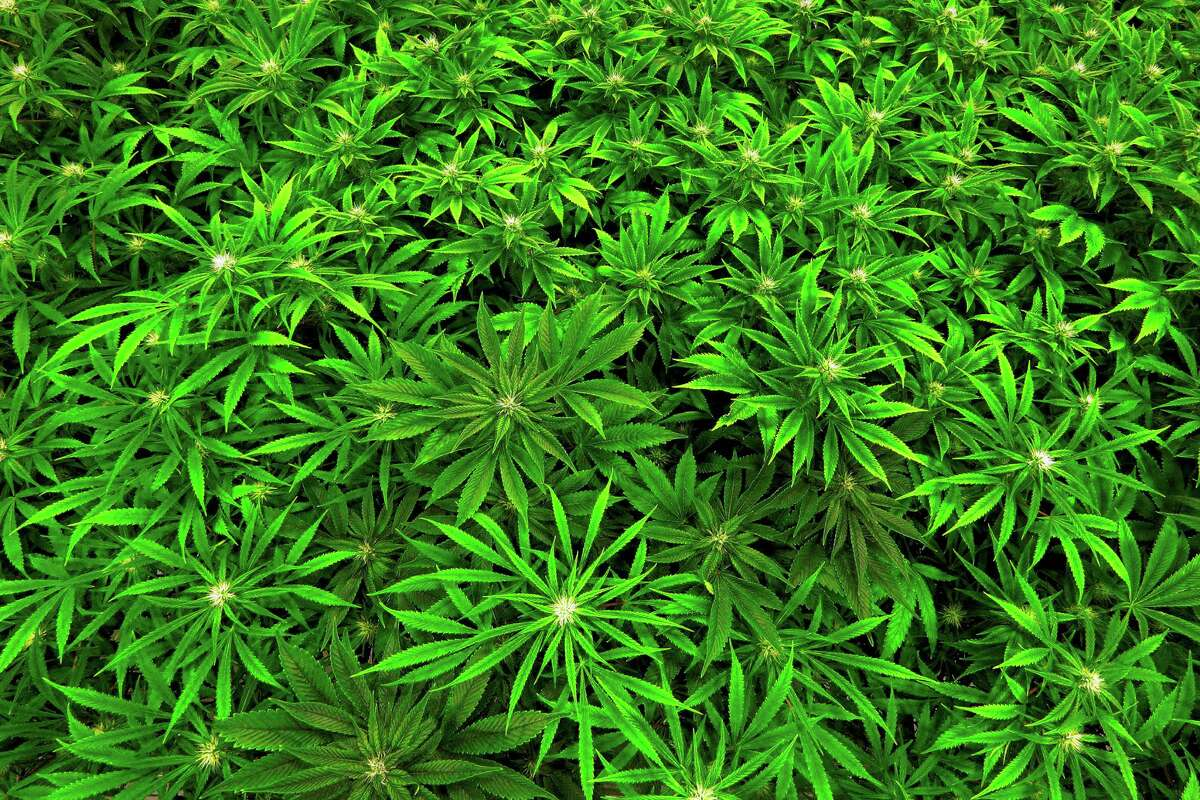 Marijuana for medical uses is becoming an increasing political issue in some states.