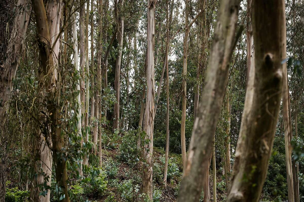 Eucalyptus trees are seen off of a trail in Mount Sutro Open Space Reserve behind the UCSF Campus in San Francisco, California, on Saturday, Aug. 20, 2016.