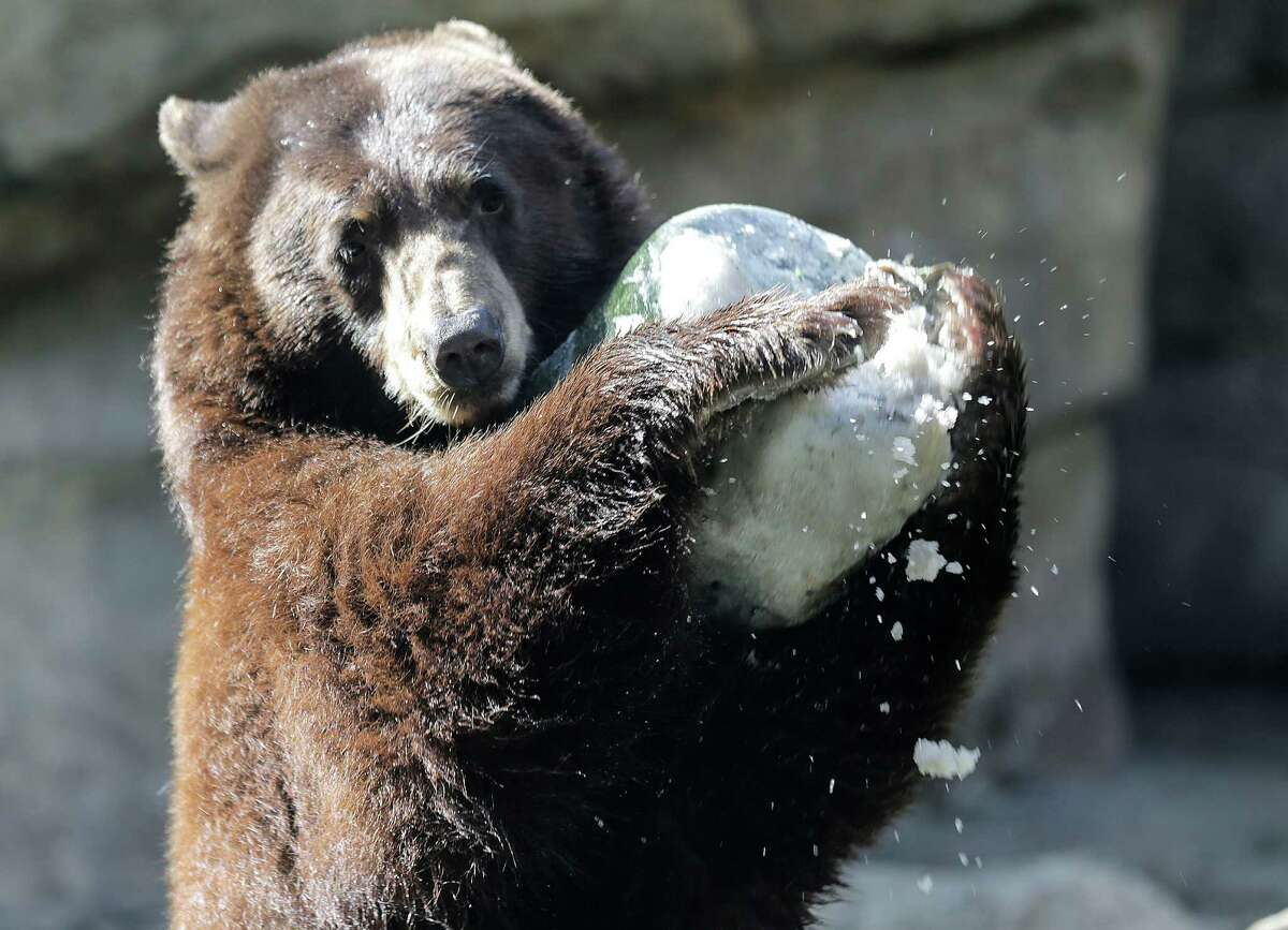 """An American Brown Bear enjoys it's enrichment, a frozen block with fish, as part of the TXU Energy """"Chill Out at the Zoo"""" on Saturday, Aug. 20, 2016, in Houston."""