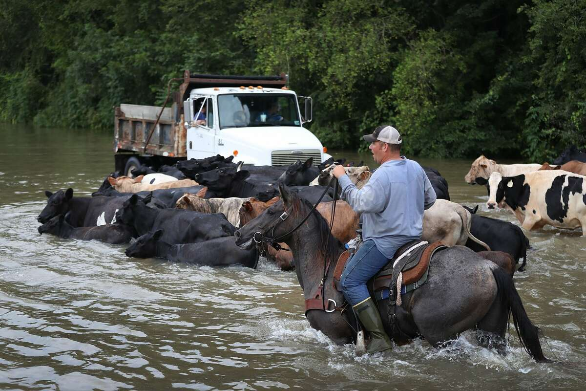 SORRENTO, LA - AUGUST 16: Cattle are driven through a flooded road as they are herded to trucks to be brought to dry land on August 16, 2016 in Sorrento, Louisiana. Starting last week Louisiana was overwhelmed with flood water causing at least seven deaths and thousands of homes damaged by the flood waters. (Photo by Joe Raedle/Getty Images)
