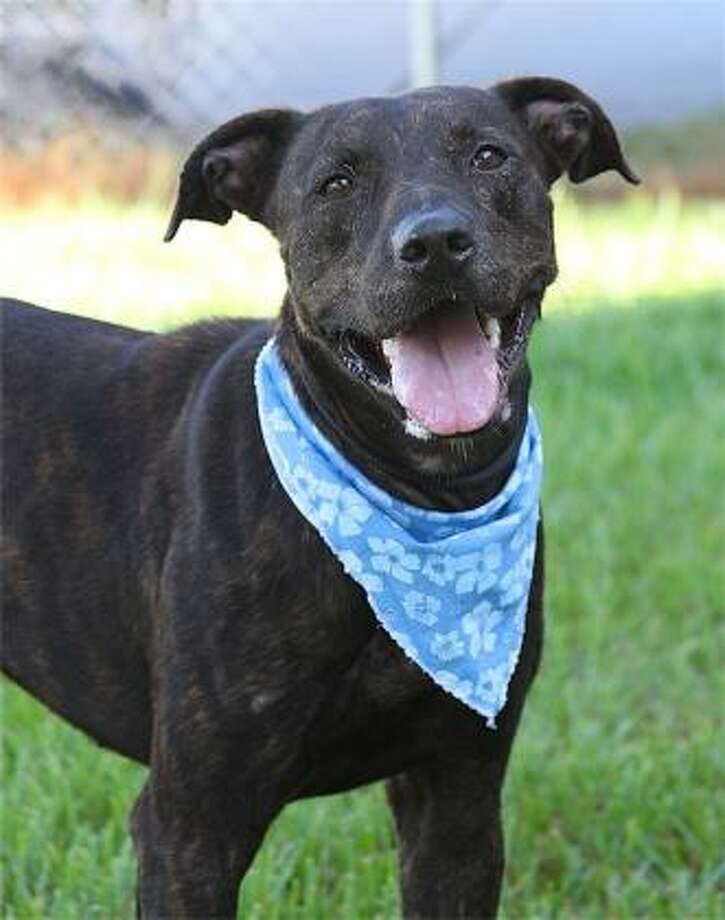 AGGIEBreed: Great DaneAge: 10 monthsSex: MaleAdoption Fee: $130 Photo: Humane Society Of Southeast Texas
