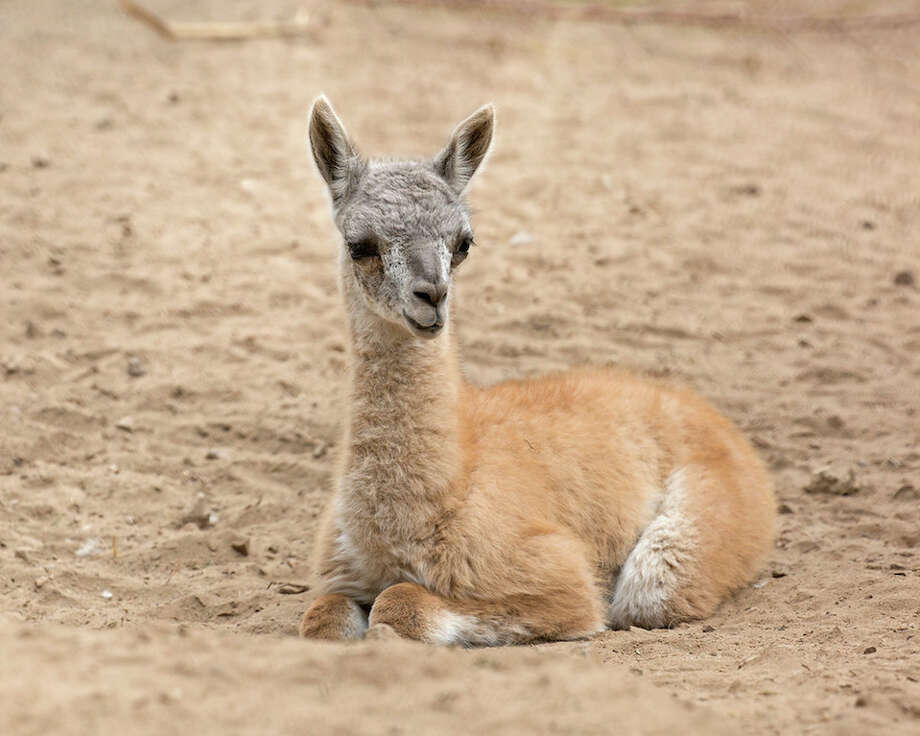 Young Guanaco. Photo by Marianne Hale / Pacifica Arts,Inc.