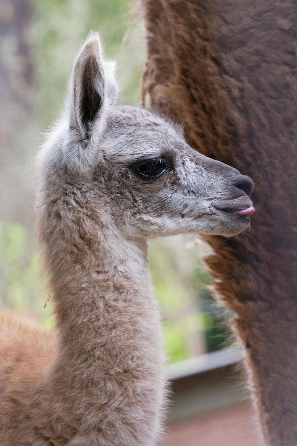 Young Guanaco. Photo by Marianne Hale