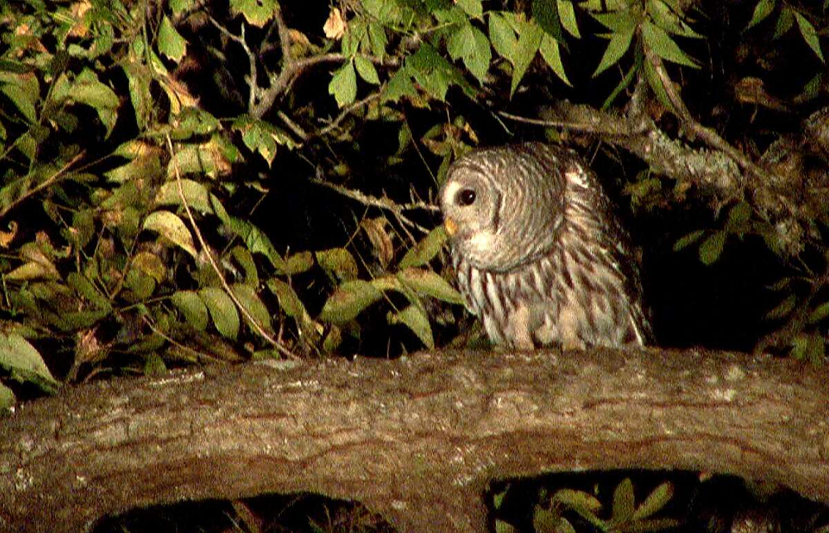 Barred owl watches from a tree at Medina River Natural Area.
