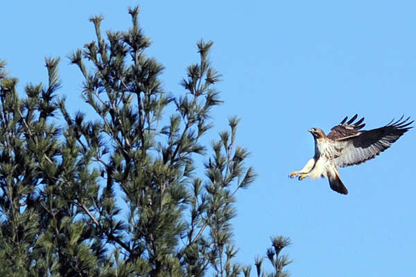 A red-tailed hawk comes in for a landing near the top of a pine tree at the Audobon property in Greenwich, Conn., Saturday afternoon, Jan. 17, 2015. Audubon Greenwich is coordinating an effort to count the numbers of hawks migrating through our area.