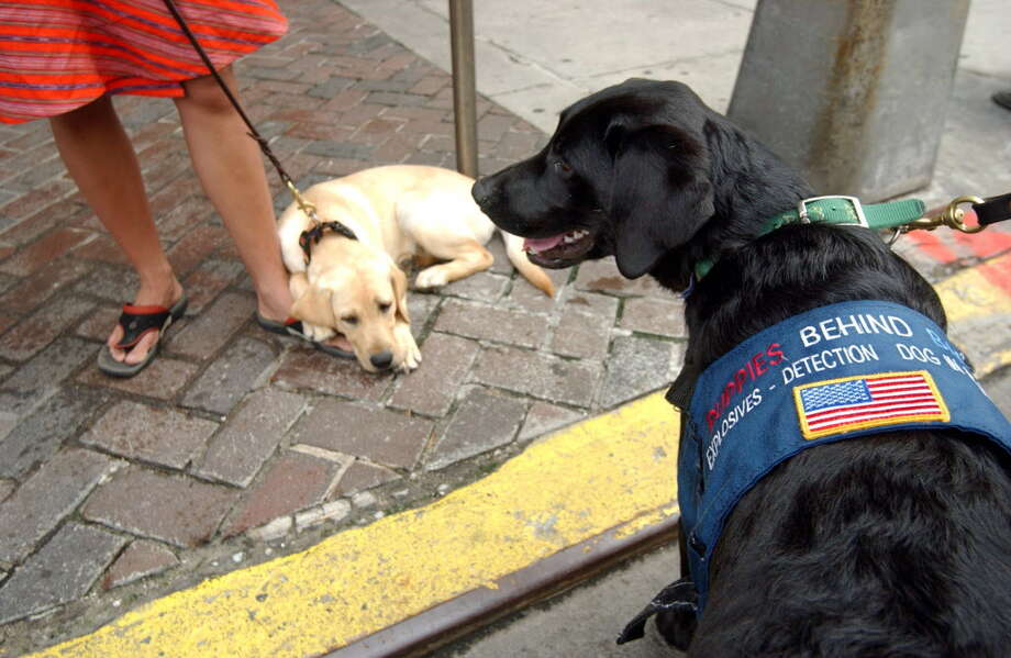 Labrador Retriever puppies Graham, right, and Potter, wait for their volunteer handlers are part of a program called Puppies Behind Bars. Photo: RAMIN TALAIE, AP / AP