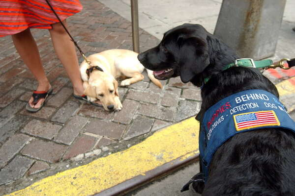 Labrador Retriever puppies Graham, right, and Potter, wait for their volunteer handlers on New York's 42nd Street to take them for a walk around Manhattan on Saturday June 26, 2004.  The dogs are part of a program called Puppies Behind Bars, where they are raised by inmates from a New Jersey lockup to become explosives-detection canines or guide dogs for the blind.  Volunteers expose the pups to both New York's cacaphony of sounds and its high life, taking their furry charges everywhere from church to cocktail parties and Broadway shows.
