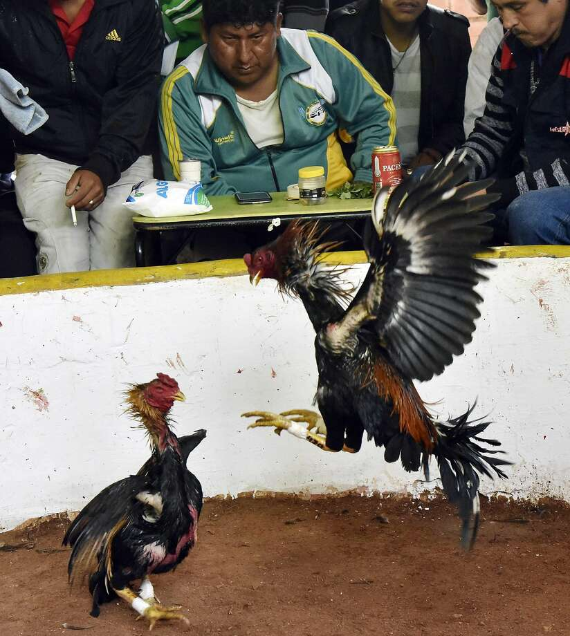 Roosters fight during a cockfight tournament in Coroico, Los Yungas, Bolivia, on June 25, 2016.  Cockfighting is traditional in rural Bolivia during the patron saints festivals.  / AFP PHOTO / AIZAR RALDES / Bolivia OUTAIZAR RALDES/AFP/Getty Images Photo: AIZAR RALDES, AFP/Getty Images