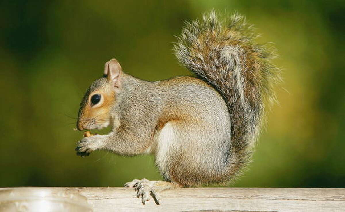 Origin Squirrels are rodents and members of the Sciuridae family. The word