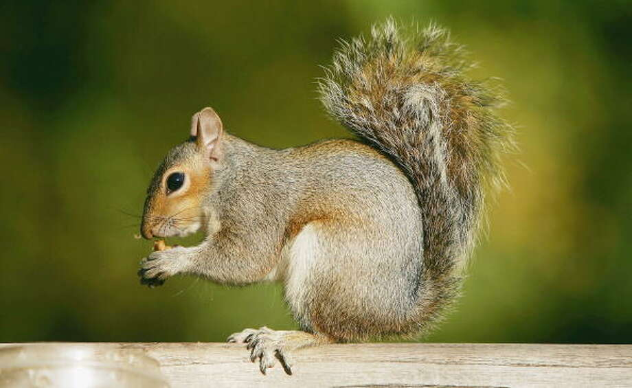"OriginSquirrels are rodents and  members of the Sciuridae family. The word ""squirrel"" is derived from the Latin word ""sciurus."" Photo: Scott Barbour/Getty Images"