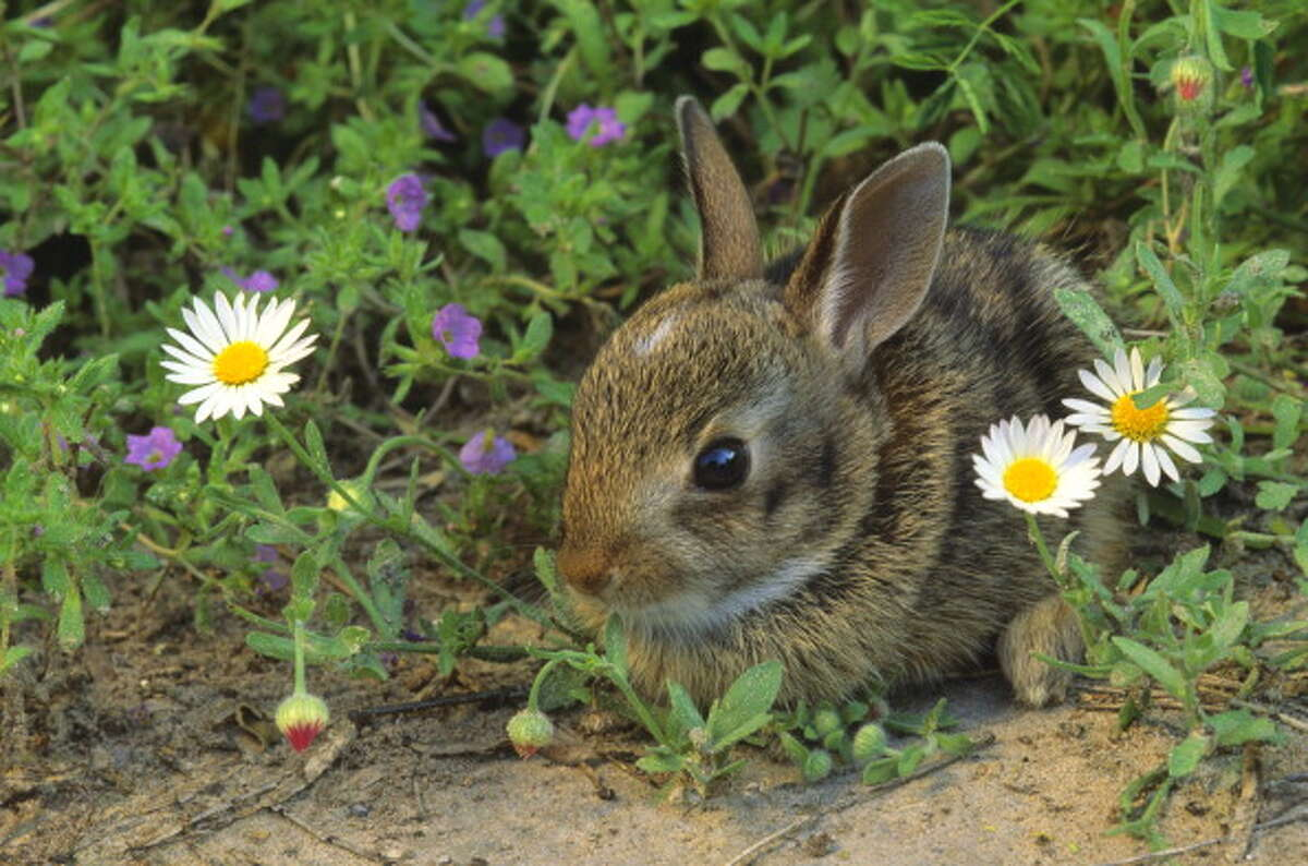 According to Wirsing, the Eastern Cottontail has dwelled in the Washington area for nearly a century. It wasn't until the past few years, however, that the bunny population really blossomed in the Puget Sound.
