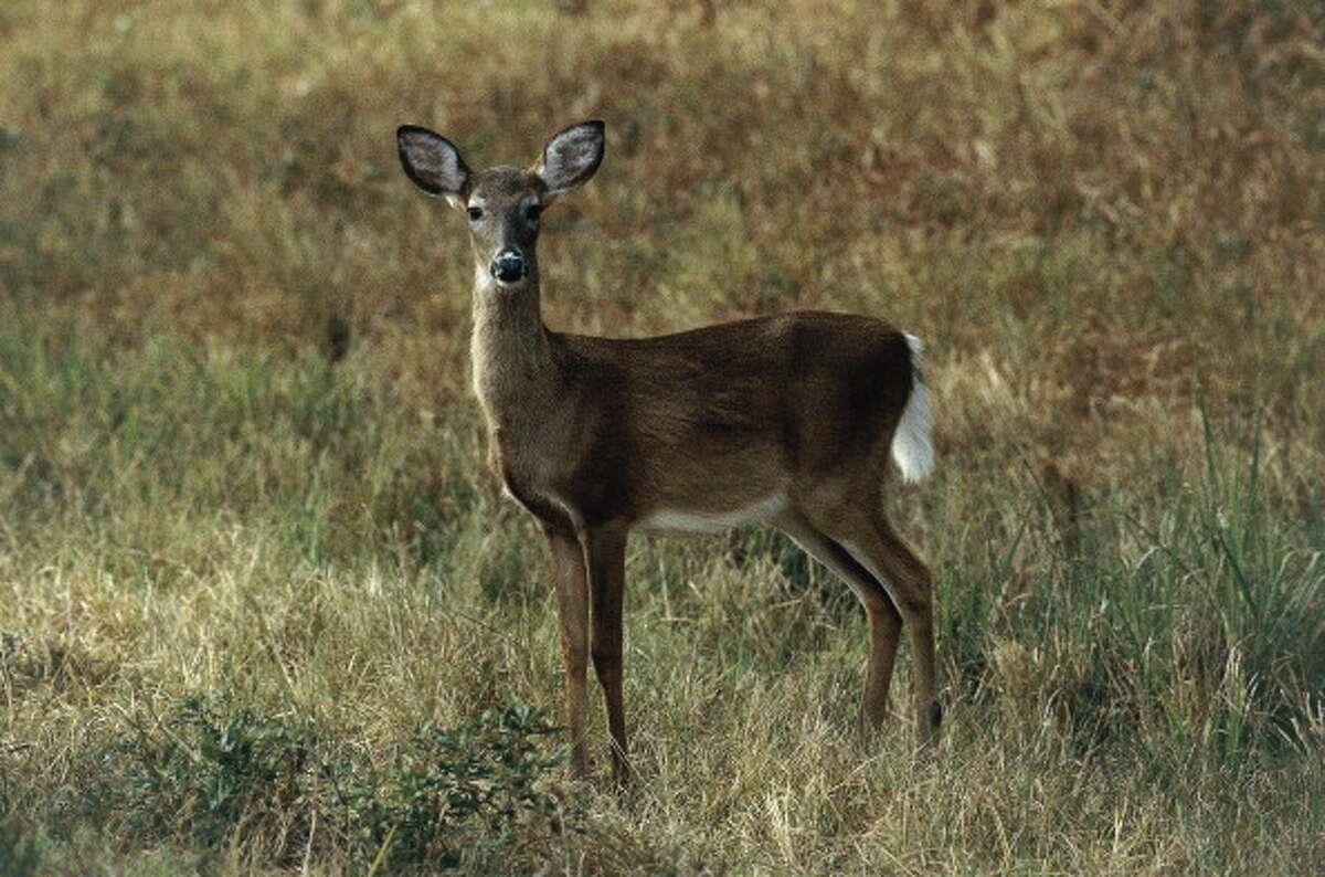 White-tailed Deer Season start date: Nov. 5, 2016 - Jan. 1, 2017 Max limit per hunter:4 deer, no more than 2 bucks, and no more than 2 antlerless Best recipe: Venison gyros