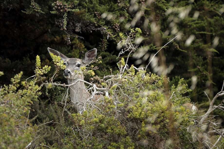 A deer peeks out from the foliage near Point Bonita Lighthouse at the Marin Headlands in Marin, Calif., on Tuesday, August 23, 2016. Photo: Carlos Avila Gonzalez, The Chronicle