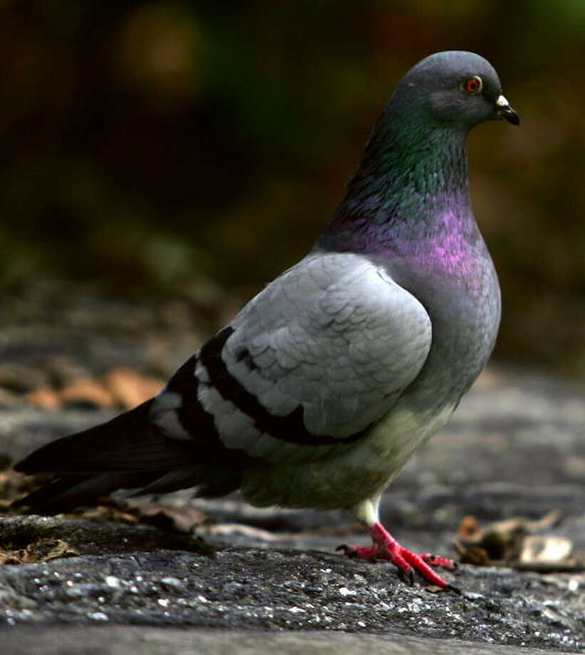 A Texas university is giving birth control to pigeons. Students and administrators say the birds are overrunning the Texas Tech campus, so the idea is to control the population over time.>>>Scroll through the gallery to see other attempts at using birth control on wildlife Photo: Spencer Platt/Getty Images