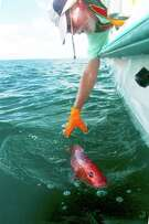 Angler Pete Churton releases a red snapper caught on a recent fishing trip in the Gulf of Mexico off Sabine Pass. With recreational red snapper fishing season closed in federal waters, offshore anglers must release all red snapper they land while targeting other fish.