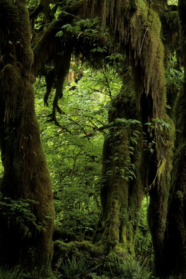 The rainforest valleys of the Quinault and Queets River, on the west side of the Olympic Peninsula, are part of Gov. Jay Inslee's drought emergency declaration. Photo: Wolfgang Kaehler/LightRocket Via Getty Images