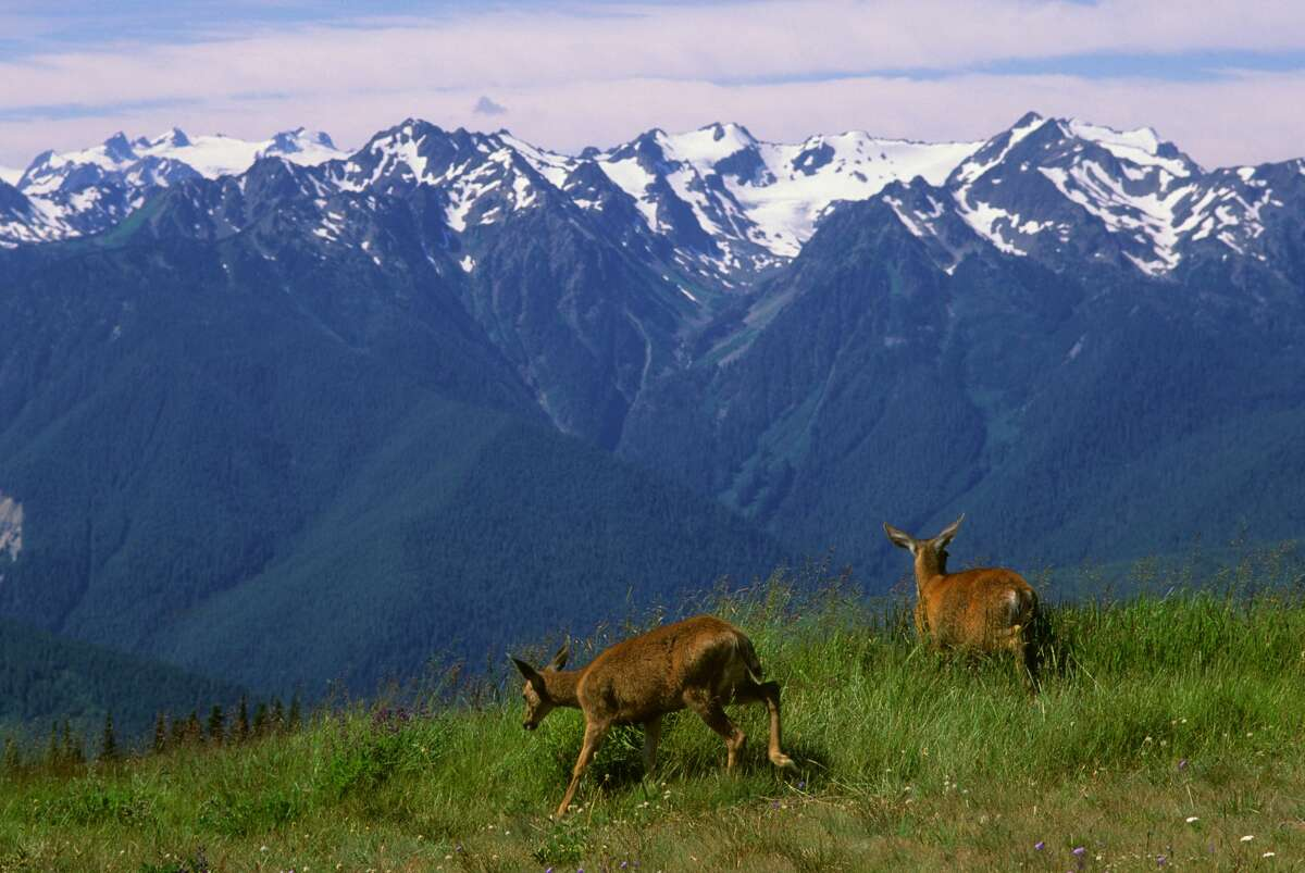 Two black-tailed deer at Hurricane Ridge on the Olympic Peninsula in the Olympic National Park. Navy Growler jets pass overhead en route to electronic warfare training areas on western Olympic Peninsula.