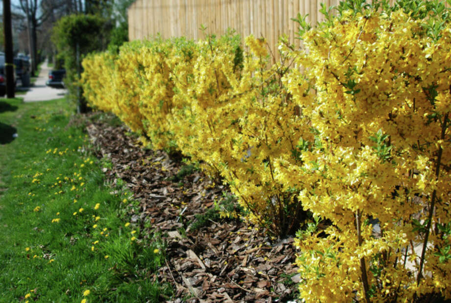 Metro Services If we prune spring blooming plants, including the forsythia, in late fall or early spring, we will be also removing their floral display.