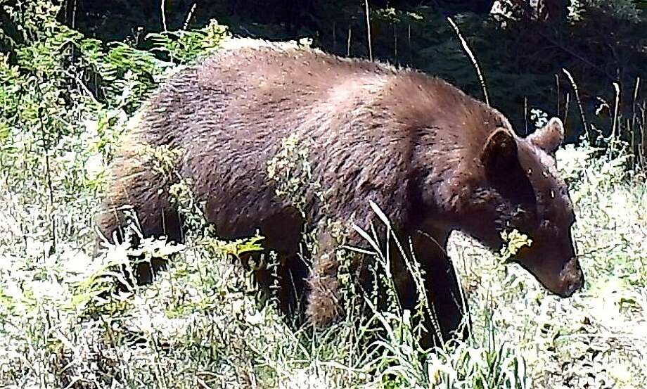 After a rifle shot from a poacher was heard at night in an open space preserve, Chronicle outdoors writer Tom Stienstra searched for the damage and instead found a wildlife cam had captured this photo of a healthy black bear, and nearby, saw a big buck -- if the poacher saw the bear and deer, he missed his shot. Photo: Tom Stienstra, Tom Stienstra / The Chronicle