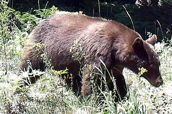 After a rifle shot from a poacher was heard at night in an open space preserve, Chronicle outdoors writer Tom Stienstra searched for the damage and instead found a wildlife cam had captured this photo of a healthy black bear, and nearby, saw a big buck -- if the poacher saw the bear and deer, he missed his shot.