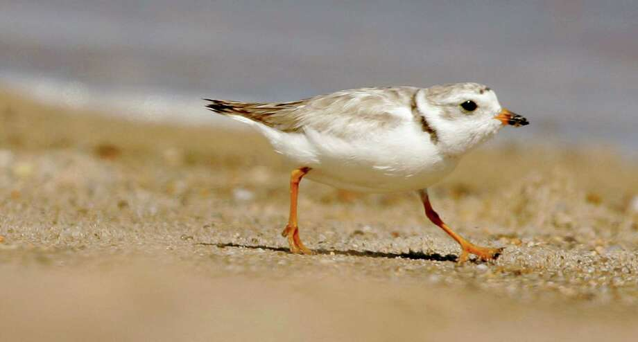Ann adult piping plover runs along a beach as waves lap on the shore in the background in this file photo. An upcoming dredging project on the Housatonic River must monitor the birds during its duration, officials say. Photo: Steven Senne / Associated Press / AP2007