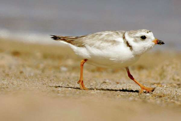 Ann adult piping plover runs along a beach as waves lap on the shore in the background in this file photo. An upcoming dredging project on the Housatonic River must monitor the birds during its duration, officials say.