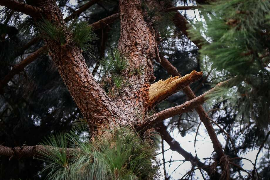 A broken limb can be seen on a pine tree in Washington Square Park in, San Francisco, California, on Thursday, Aug. 25, 2016. The broken limb fell and paralyzed Emma Zhou on August 12, 2016. Photo: Gabrielle Lurie, Special To The Chronicle