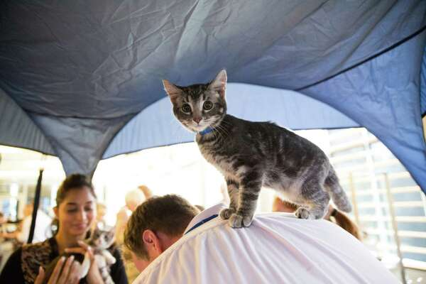 A young cat stands on the back of a cuddler in the petting enclosure at Kitty Hall, also known as City Hall, Thursday, Aug. 25, 2016.