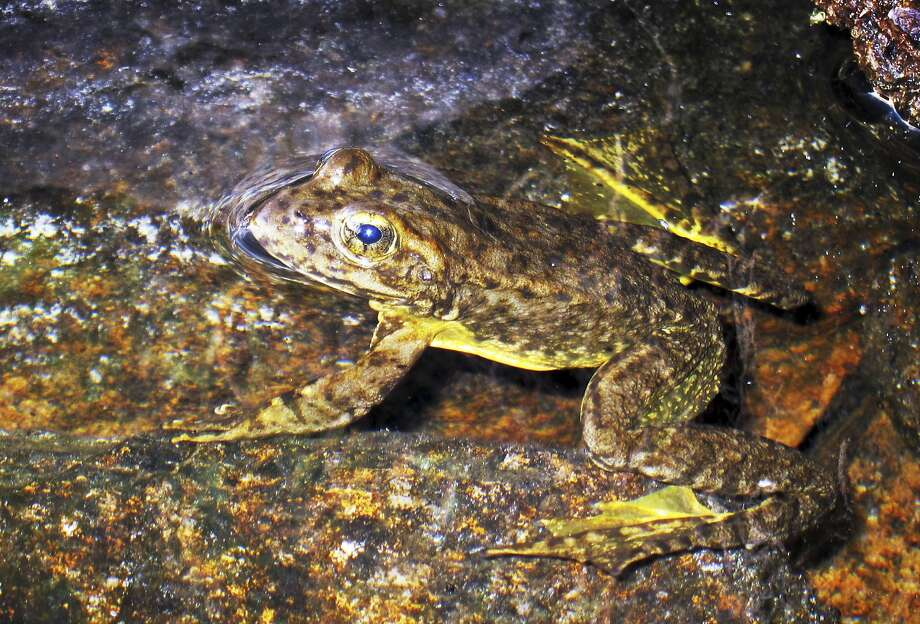 Yellow-legged frogs are rebounding in High Sierra lakes after suffering losses to nonnative trout, pesticides and a fungus. Photo: Brian Melley, Associated Press