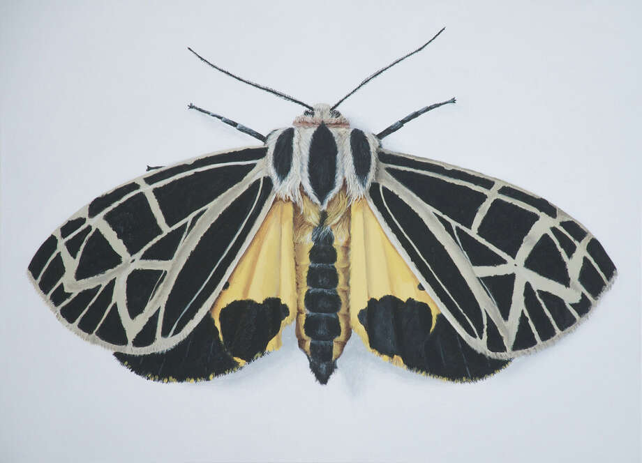 This is the Anna tiger moth; by painting the moths large, on 30-by-40-inch canvases, she brings out the beauty of their color and form. MUST CREDIT: Deborah Davis. Photo: Deborah Davis