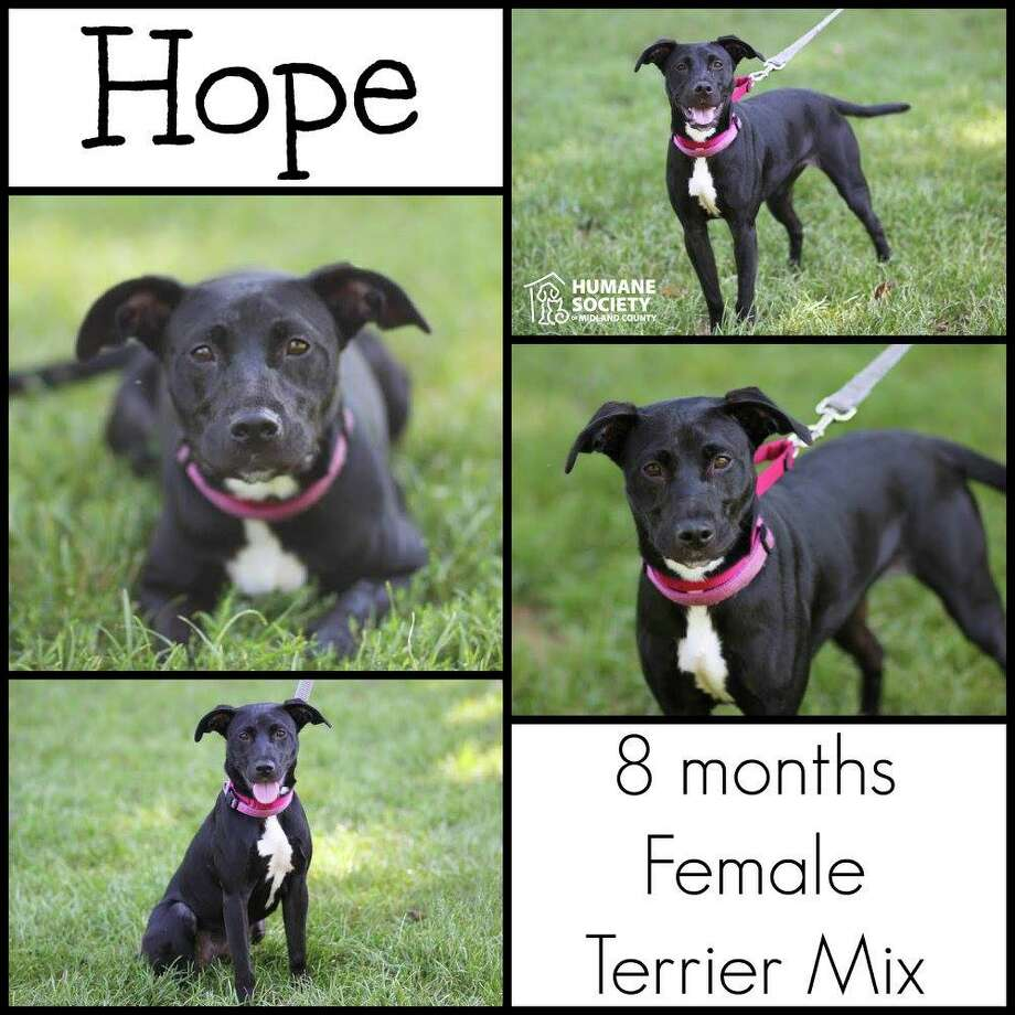 Hope is a beautiful young puppy who is looking for a forever home where someone will be around a lot. She suffers from some separation anxiety, so someone willing to be with her and work on those issues is best! She is great with other pets and children! All dogs/puppies are spayed/neutered, vaccinated, heartworm tested, and microchipped. Adoption Fee: $150 Photo: Photo By Deb Lambesis
