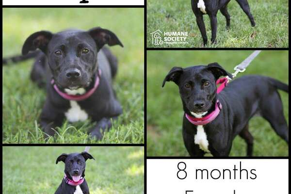 Hope is a beautiful young puppy who is looking for a forever home where someone will be around a lot. She suffers from some separation anxiety, so someone willing to be with her and work on those issues is best! She is great with other pets and children! All dogs/puppies are spayed/neutered, vaccinated, heartworm tested, and microchipped.      Adoption Fee: $150
