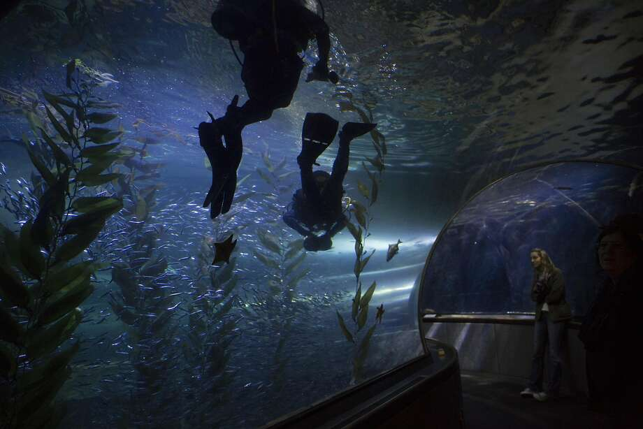 Mike McGill, collections coordinator for the Aquarium of the Bay, dives with Cate Vaz, a volunteer diver and interpretive naturalist, on August 15, 2016. McGill has been working at the aquarium for 20 years. Photo: Erin Brethauer, The Chronicle