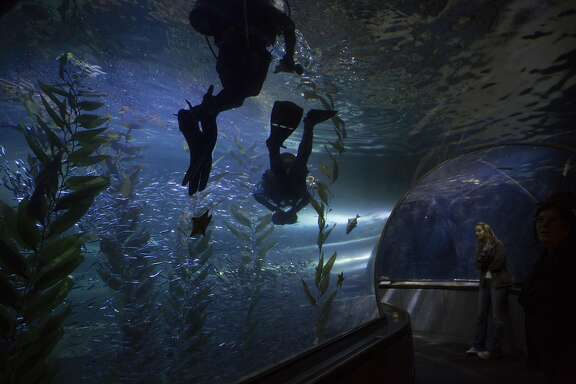 Mike McGill, collections coordinator for the Aquarium of the Bay, dives with Cate Vaz, a volunteer diver and interpretive naturalist, on August 15, 2016. McGill has been working at the aquarium for 20 years.