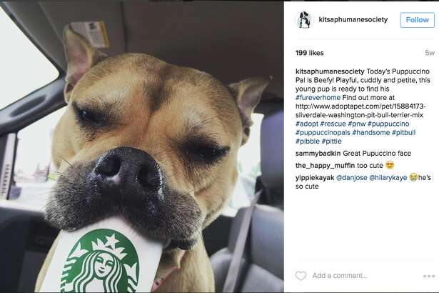 Cute puppies from Kitsap Humane Society enjoy a Puppuccino from a local Starbucks.