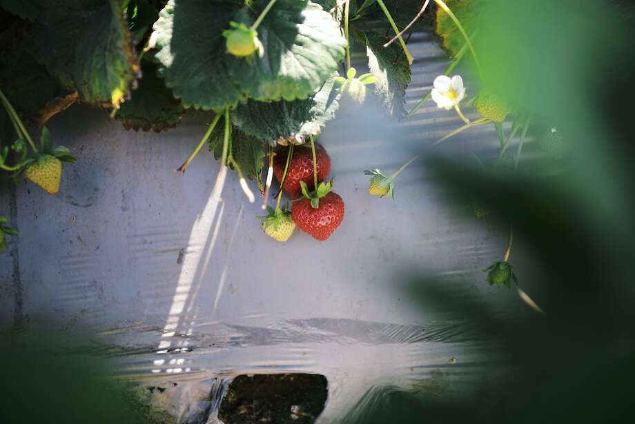 Fresh strawberries can be found everywhere during Bay Area summers. Photo: Nik Sharma