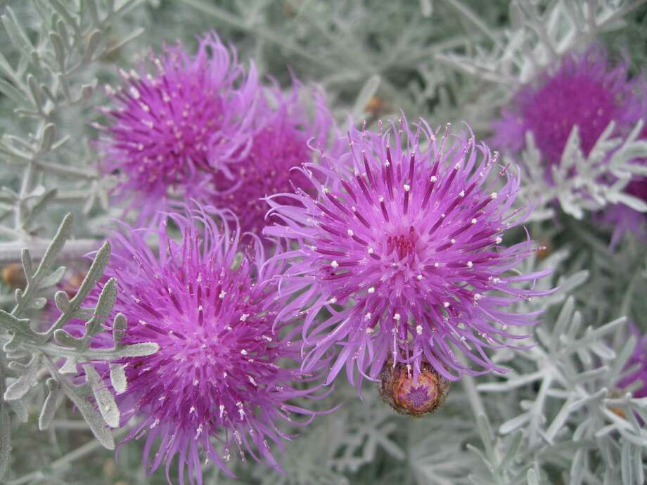 Centaurea gymnocarpa makes an excellent focal with its silver foliage and fuzzy pink flowers. Photo: Annie's Annuals & Perennials