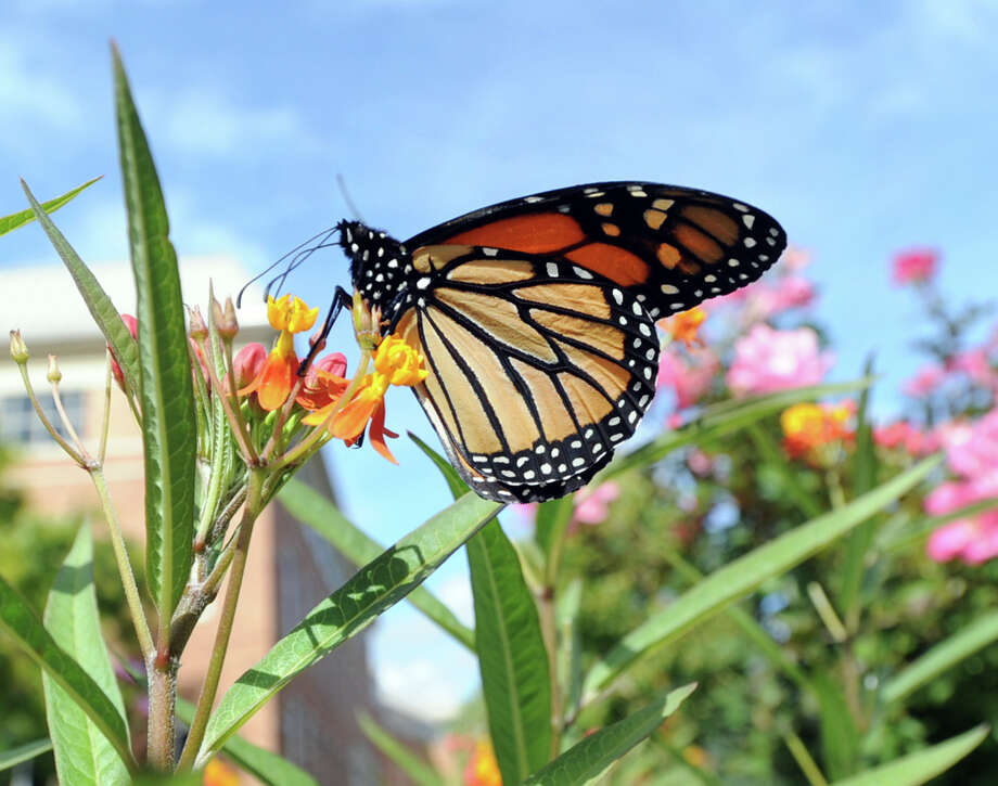 A Monarch butterfly. Photo: Bob Luckey / Bob Luckey / Greenwich Time