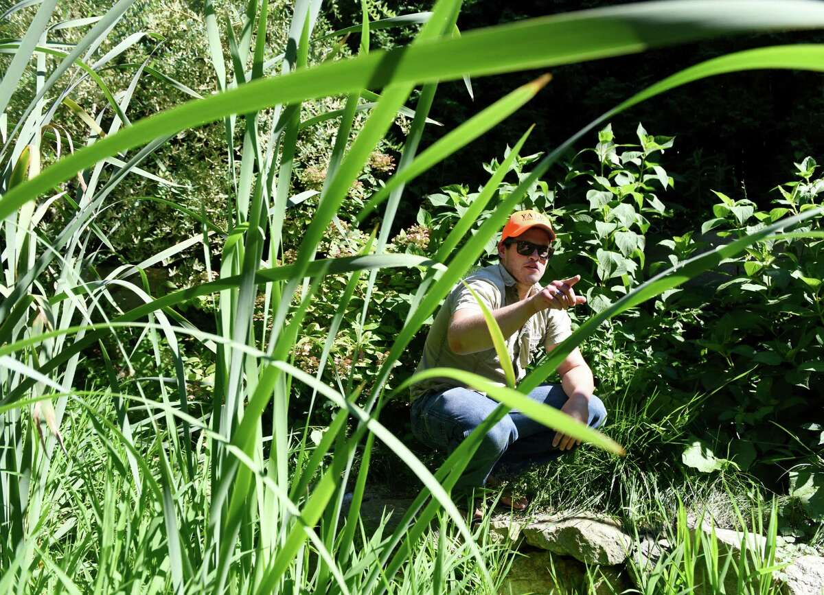 Yale Ph.D. candidate Max Lambert searches for Italian Wall Lizards in a backyard in the Cos Cob section of Greenwich, Conn. Tuesday, Aug. 23, 2016. It is suspected that the lizards have been using the Metro-North train lines to migrate from their home in the Bronx to cooler climates up north. There has been a population living in the Bronx since a pet truck crashed and led to their escape to the urban wild in the 1960s.