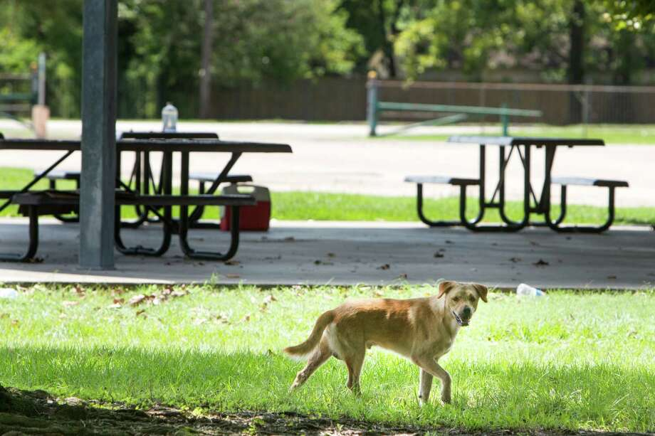 A stray dog walks around the Northside National Little League park on Tuesday, Aug. 23, 2016, in Houston. The baseball fields sits adjacent to Melrose Park, where, it has been reported, that some believe has become a dumping ground for unwanted dogs and cats. Photo: Brett Coomer, Houston Chronicle / © 2016 Houston Chronicle