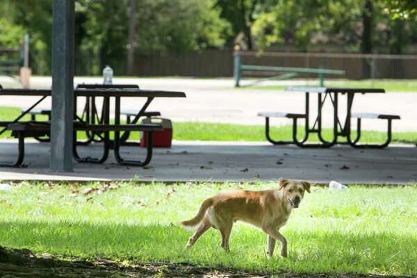 A stray dog walks around the Northside National Little League park on Tuesday, Aug. 23, 2016, in Houston. The baseball fields sits adjacent to Melrose Park, where, it has been reported, that some believe has become a dumping ground for unwanted dogs and cats.