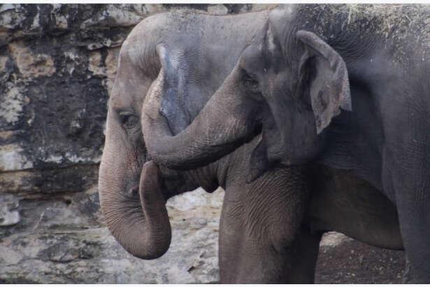 The San Antonio Zoo adds an Asian elephant named Karen to its herd.