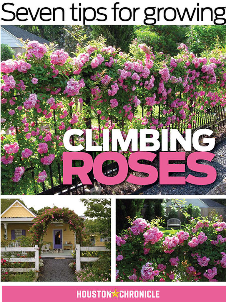 Ho/how to take care of climbing roses for winter - Ho/how To Take Care Of Climbing Roses For Winter 5