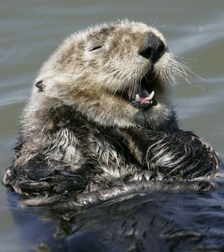 In this May 8, 2007 file photo, an Southern sea otter cleans itself in the water in Monterey, Calif. On Monday, state Department of Fish and Wildlife said three Southern sea otters were found shot to death in the Santa Cruz area. Photo: Paul Sakuma / Associated Press / /